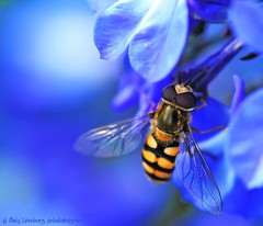 Lost in Blue 1 (nikkorglass) Tags: macro closeup nikon july micro juli nikkor 2009 f28 vr hoverfly d300 närbild flowerfly blomfluga singintheblues 105mmvr nikkorglass macrolife rgmfc