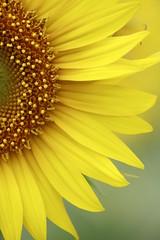 (torushishikura) Tags: flower macro yellow ngc sunflower fiore flore passionphotography specialpicture colorphotoaward superaplus platinumheartaward flowersmacroworld macroflowerlovers spiritofphotography alemdagqualityonlyclub auniverseofflowers awesomeblossoms flickrflorescloseupmacros redmat