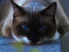 Bella Faccia (joecrowaz) Tags: arizona cats pets animals kissablekat bestofcats kittyschoice catmoments boc0809