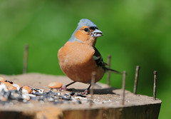 Chaffinch (Fringilla coelebs) Male on Bird Table at RSPB Fairburn Ings (Steve Greaves) Tags: wood food male bird nature table wooden log birdseed feeding bokeh eating wildlife birdfeeder peanuts aves cock naturalhistory eat finch birdtable feed colourful avian fringillacoelebs rustynails chaffinch sunflowerseed commonchaffinch 17converter eurasianchaffinch cockbird nikond300 globalbirdtrekkers nikonafsii400mmf28ifedlens