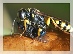 Capture (mimite1958) Tags: black macro yellow fly eyes yeux bee greatshot capture predator antenne antenna abeille mouche proxy repas macrophotography attaque predateur sphecidae macrophotographie hymenoptere proxyphotographie proxyphotography cercerisarenaria macrolife insectevolant pseudoguepe