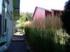 Calamagrostis Karl Foerster screen