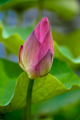 Water Lilly Bud