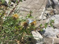 Una farfalla su un cardo