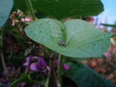 beetle on leaf (2)