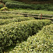 Green Tea Plantation - China #5 of 7