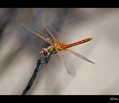 S ...... anche a Formentera !!! (alfvet) Tags: nature closeup nikon dragonflies ngc natura bugs formentera libellule insetti d60 naturesfinest platinumphoto flickrplatinum platinumheartaward macromarvels excapturemacro platinumsuperstar veterinarifotografi mygearandme mygearandmepremium mygearandmebronze mygearandmesilver mygearandmegold mygearandmeplatinum