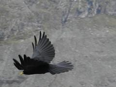 DSCN2524 (CinemaKB) Tags: bird glacier grossglockner