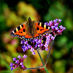Heligan_D7800 (Ennor) Tags: uk flower butterfly flora cornwall unitedkingdom september 2009 heligan kernow lostgardensofheligan weeklyfreeflight heliganslostgardens