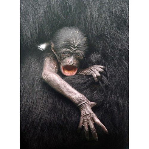 baby-Siamang-yawn