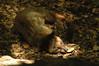 Common Palm Civet (adcristal) Tags: animal asian zoo farm philippines nikond70s palm crocodile croc common captivity puertoprincesa palawan kopi civet palmcivet hermaphroditus crocodilefarm barangay kopiluwak irawan luwak nikon70300mmf456g palawanwildliferescueandconservationcenter paroxurus