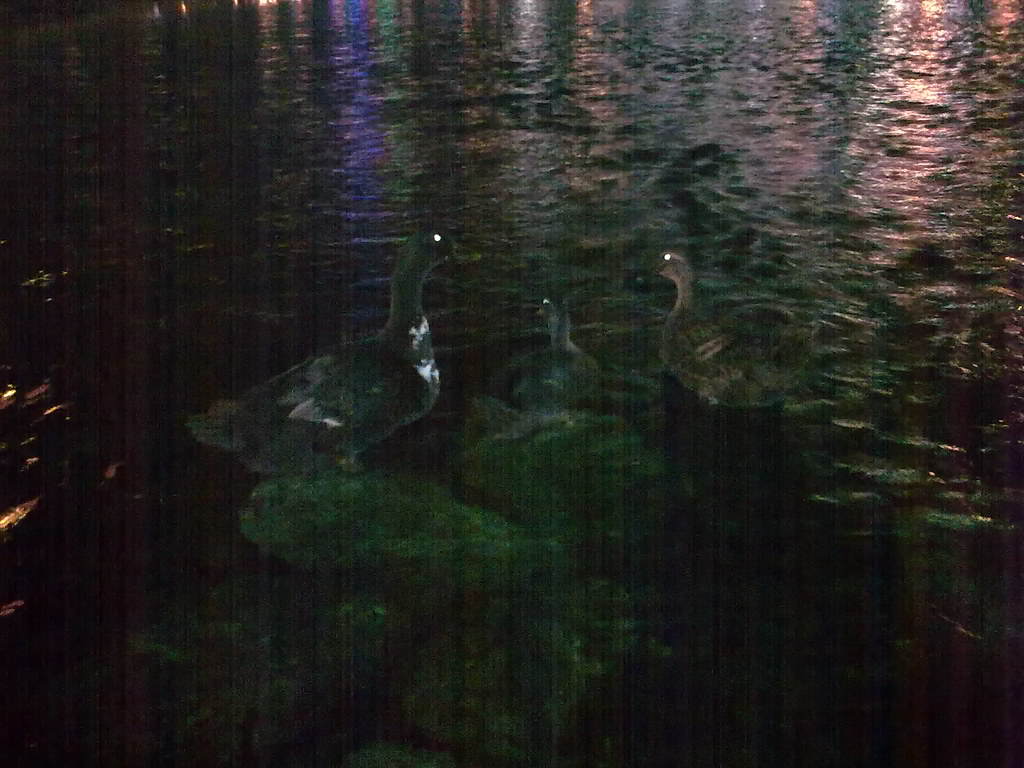 야간촬영 - 대구 신천둔치 청둥오리 가족 night shot of wild duck family at Sinchundunchi, Daegu #2