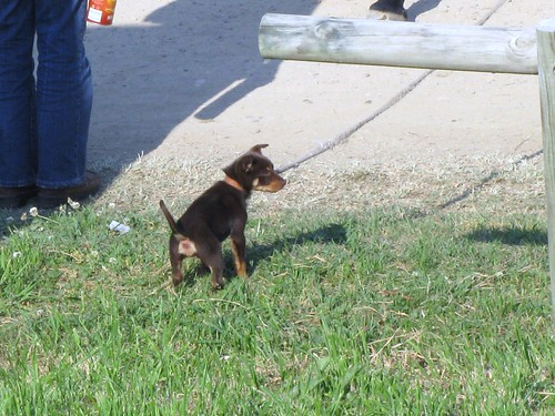 Puppy at Stroud Rodeo