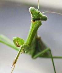 Praying Mantis For Organic Pest Control