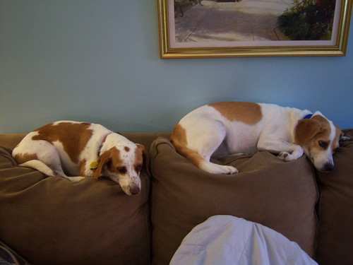 A Beagle Couch