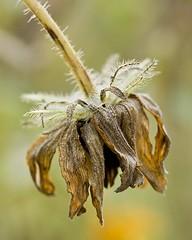 Black-Eyed Susan (Early Fall) (Gary A. Stafford) Tags: rudbeckia blackeyedsusan canoneos5d canonef100mmf28macrousmlens garyastafford