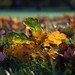 Autumn Leaves, Primrose Hill - Click thumbnail for image options