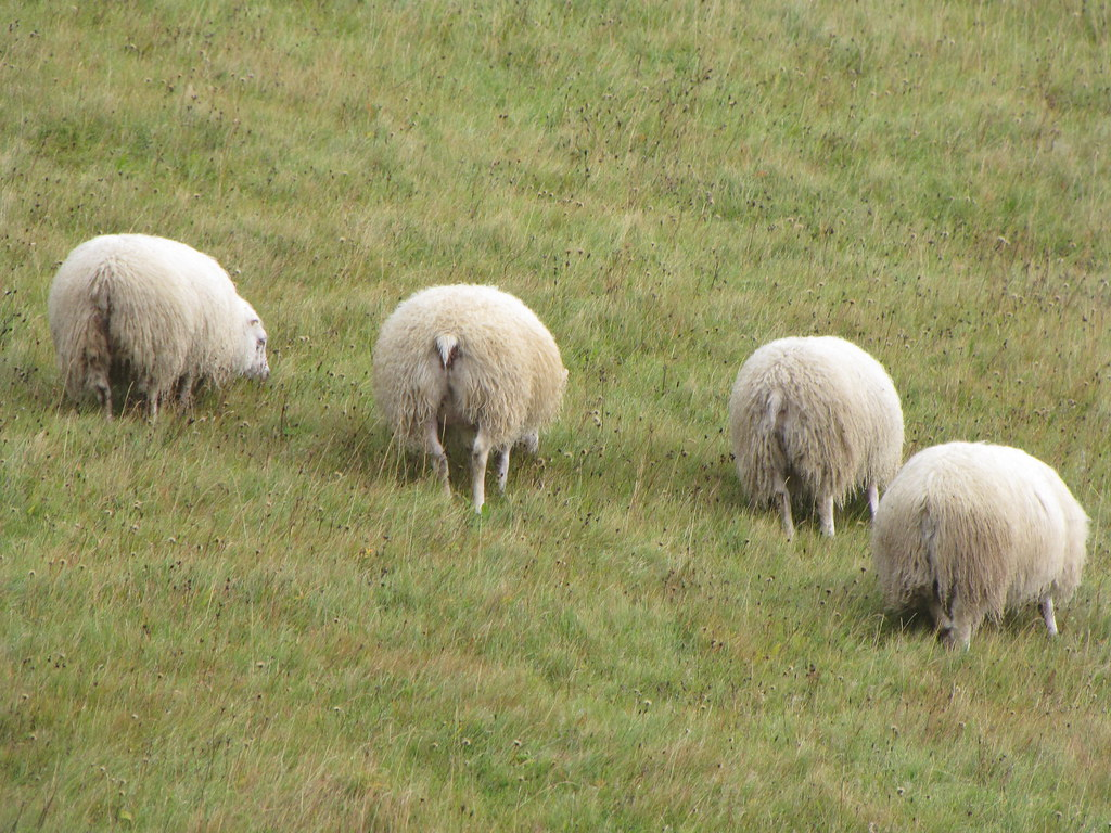 4 sheep showing me their asses in southern Iceland