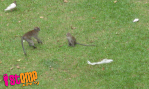 Monkey population in Bukit Panjang growing too fast