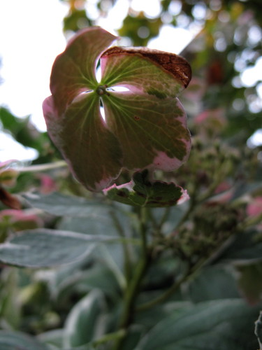 variegated lacecap hydrangea
