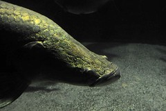 arapaima gigas (Joachim S. Mller) Tags: fish animal germany deutschland zoo aquarium kln fisch fishtank nordrheinwestfalen tier arapaima klnerzoo arapaimagigas pirarucu zookln paiche tamronaf18270mmf3563