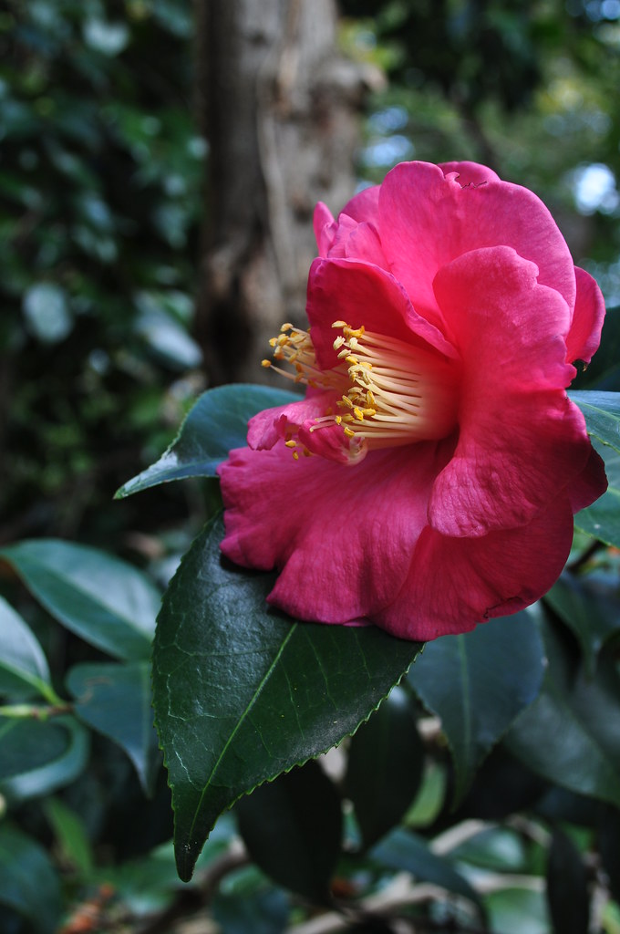 Camellia japonica (unknown)