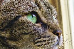 Winky at the Window Close-Up (NjCarGuy) Tags: window closeup cat photoshop canon feline sigma sharp focused catseye topaz winky adjust cs4 sigma1020 t1i