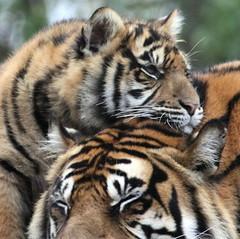 Cozy Cub (Gary Wilson  ) Tags: ireland dublin nature animal canon eos zoo cub wildlife tiger sumatrantiger sumatran tigercub dublinzoo 100400l 50d emaswanita