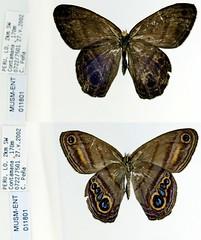 Chloreuptychia tolumnia