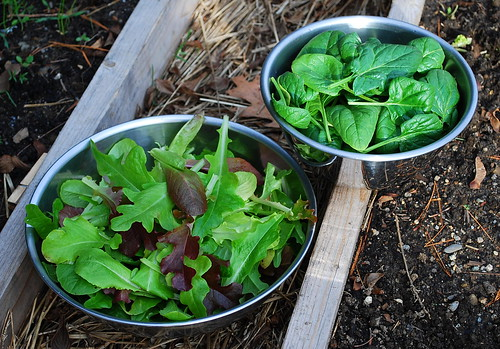 lettuce and spinach harvest