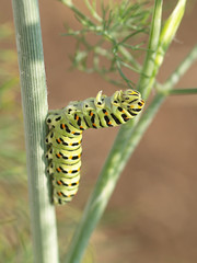 Papilio manachon 0 (gripspix (catching up slowly)) Tags: macro nature dill colorful caterpillar archives swallowtailbutterfly papilio futterpflanze latesummer2009 papiliomanachon anethunmgraveolens