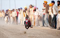Catch Me If You Can (gurbir singh brar) Tags: dogs sport rural speed nikon power spirit fair essence punjab 2009 greyhounds singh dogracing brar gurbir fatehgarhsahib unseenasia gurbirsinghbrar punjabcattleandlivestockfair