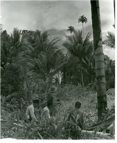 Workers in a grove of Pigafetta palms, Pajahi Bay, Halmahera