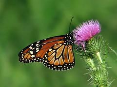 Mariposa Monarca HDF