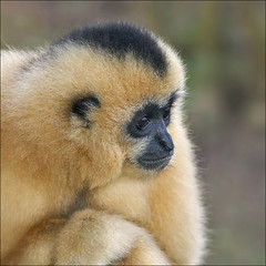 Female Yellow-cheeked Gibbon (Foto Martien) Tags: holland netherlands dutch animal zoo monkey cambodia southeastasia arnhem nederland vietnam burgers ape laos primate dier aap veluwe burgerszoo gibbon affe dierentuin gelderland dierenpark rimba primat primaat zuidoostazi a350 burgersdierenpark superaplus aplusphoto nomascusgabriellae yellowcheekedgibbon sonyalpha350 yellowcheekedcrestedgibbon goldencheekedcrestedgibbon buffedcheekedgibbon goudwanggibbon martienuiterweerd martienarnhem sonyg70300ssm geelwanggibbon