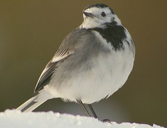Pentax K100D.55-300mm Lens.The Pied Wagtail On Five Inches Of Snow.December 27th 2009. (Blue Melanistic.Twelve Million Views.) Tags: christmas ireland winter snow bird window nature december pentax wildlife pied ulster wagtail melanistic k100d 55300mmlenstyrone