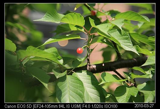 20100327Red山櫻花的紅果實