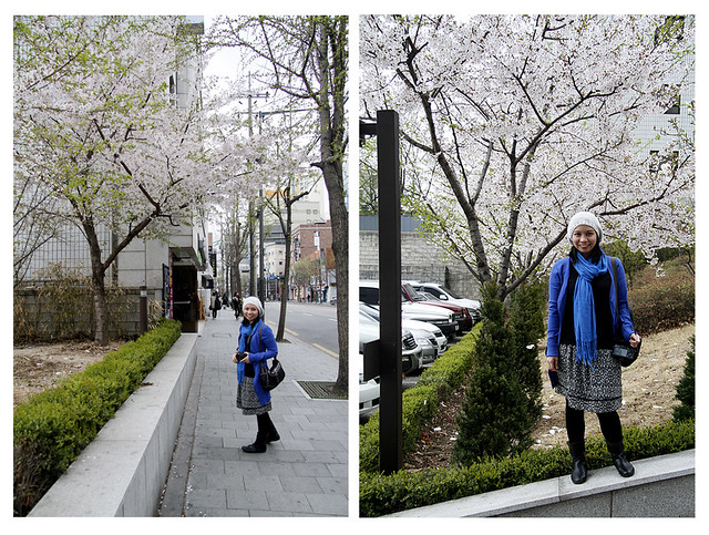 cherry blossoms in hongdae