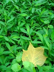 Poplar Sun in Grass Sky (Celtic~Dancer) Tags: park usa green nature yellow outdoors leaf poplar sony decatur sonycybershot geogia dscw80 natureskingdom olmsteadlinearpark