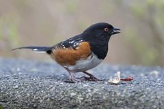 Spotted Towhee (Nikon-gearhead) Tags: canada bird nature birds vancouver nikon bc nikkor d800 spottedtowhee pipilomaculatus tc14eii nikond800 nikon300f4afs nikon400mm28 tc20eiii nikond4s nikongearhead