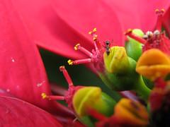 Sweet lips (Maria*_*) Tags: ant formiga euphorbiapulcherrima macromarvels theperfectphotographer