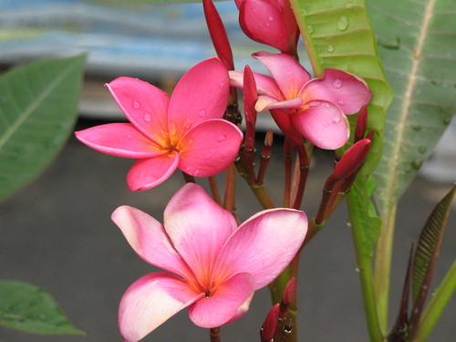 pink plumeria with water drops