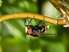 Macro (-Francesco Giunta-) Tags: macro art nature canon insect close very powershot bee views ape regina insetto enorme canonpowershots5is s5is exploreit