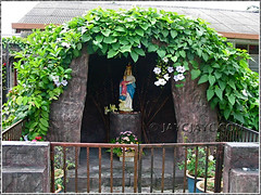 Grotto of the Blessed Virgin Mary, draped over by Thunbergia laurifolia (Blue Trumpet Vine, Laurel Clock Vine), shot June 2009
