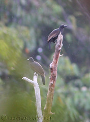 Paradise Crow (Lycocorax pyrrhopterus pyrrhopterus) (macronyx) Tags: bird nature birds indonesia asia wildlife birding aves birdofparadise halmahera fbwnewbird paradisecrow lycocorax lycocoraxpyrrhopterus lycocoraxpyrrhopteruspyrrhopterus