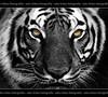 In close (Edu Rickes) Tags: cutout tiger tigre beautifulshots abigfave duetos anawesomeshot theunforgettablepictures brazilianphotographers fotógrafosbrasileiros todososdireitosreservados eyesoftiger fotógrafosgaúchos edurickes canoneosdigitalrebelxsi belasimagens olhosdetigre olhonolance fotógrafosdepelotas fotógrafosriograndedosul edurickesproduçõesfotográficas copyright©2010 fotografiaslegais