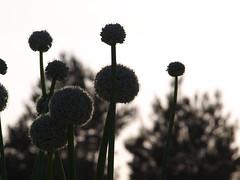 Bommel Blumen (alkuh) Tags: blumen alina bommel formenter