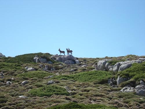 Cabras montesas en Sierra Mágina
