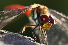 Dragonfly (♥ Spice (^_^)) Tags: autumn red orange brown color macro green feet japan canon mouth insect geotagged photography eos photo interesting wings eyes asia flickr image dragonfly bokeh tail picture vivid explore photographs photograph 日本 saitama portfolio 秋 緑 gettyimages 頭 埼玉 larawan 写真 足 顔 口 虫 昆虫 目 赤 naturesfinest 茶色 蜻蛉 compoundeyes iwatsuki とんぼ supershot 羽 colorpicture creativeimages insekto 尻尾 abigfave canoneos50d colorimages 岩槻 aplusphoto 複眼 キャノン トンボ オレンジ マクロ 2009年 ボケ カラー フリッカ