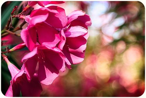 Pink Oleander Bokeh The Third